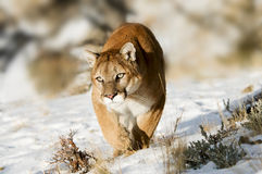 Prowling Cougar Royalty Free Stock Photography