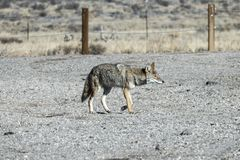 Prowling Coyote Crossing Gravel Parking Lot Royalty Free Stock Photo