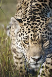 Prowling jaguar. A jaguar prowling towards the camera in a game reserve, South Africa Royalty Free Stock Photography