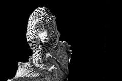 Prowling leopard. Showing the beauty of animals in zoos by removing their surroundings Stock Photo