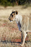 Prowling Lion Royalty Free Stock Images