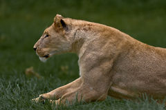 Prowling Lioness. Lone Prowling Lioness on the African savanna ready to pounce Royalty Free Stock Photography