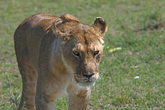 Prowling Lioness. Proud Lioness prowls the African plain Royalty Free Stock Image