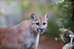 Prowling Mountain Lion Royalty Free Stock Photo