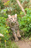 Prowling ocelot. An ocelot, photgraphed at the Santago rare leopard breeding centre Stock Photos