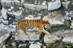 Prowling Tiger. On some rocks Royalty Free Stock Photography