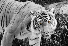 Yellow Eyed Tiger Stock Images