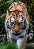 Prowling Tiger`s Stare stock images