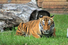 Prowling tiger Royalty Free Stock Photography
