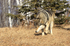 Prowling timber wolf. Timber wolf prowling in forest Royalty Free Stock Images