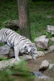 Prowling White Tiger at water Royalty Free Stock Images