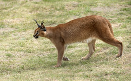Prowling a wild Caracal Royalty Free Stock Photo