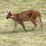 Prowling a wild Caracal in African countryside Royalty Free Stock Image