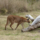 Prowling a wild Caracal in African countryside Royalty Free Stock Photography