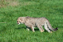 Prowls del cub del ghepardo Fotografia Stock