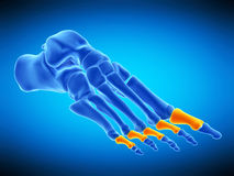 The proximal phalanx bones. Medically accurate illustration of the proximal phalanx bones Stock Photo