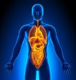 Proyección de imagen médica - órganos masculinos Foto de archivo libre de regalías