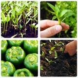 Prozess des Wachsens des Gemüses Stockbild