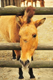 Prozhivalsky horse. Slips his head through the fence at the zoo stock photo