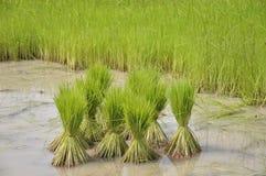 Préparation d'agriculture de riz Photo stock