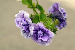 ¿Púrpura? ¿Petunia? flores Imagenes de archivo