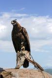 Prärie Eagle Arkivfoton