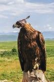 Prärie Eagle Royaltyfria Bilder