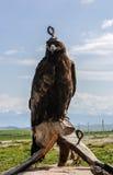 Prärie Eagle Royaltyfri Bild