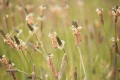 Prärieväxt av släktet Trifolium Royaltyfri Fotografi