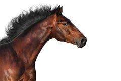 Prtrait de cheval d'isolement image stock
