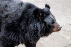 Prtrait eines schwarzen Bären Lizenzfreie Stockfotos