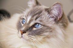 Prtrait of a ragdoll cat. Stock Photo