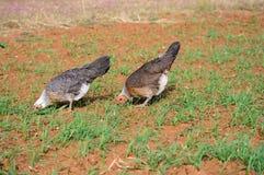 Prue bonito produziu galinhas americanas douradas do jogo de Duckwing fotos de stock