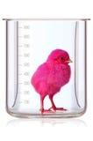 Prueba de la medida del pollo imagen de archivo