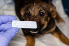 Prueba r?pida del parvovirosis positivo y fondo borroso con el perrito imagen de archivo