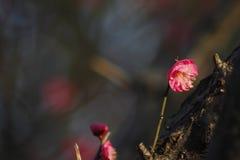 Prugna che sboccia fuori entro un giorno freddo di mattina Fotografia Stock Libera da Diritti