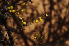 Prugna del Chimonanthus fotografie stock