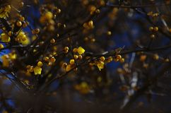 Prugna del Chimonanthus immagine stock libera da diritti