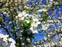 Prugna di fioritura Immagini Stock