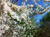 Prugna di fioritura Immagine Stock