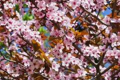Prugna di fioritura Fotografia Stock