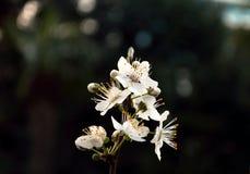 Prugna di fioritura della primavera Immagine Stock