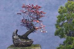 Prugna di rosso dell'albero dei bonsai Fotografia Stock Libera da Diritti