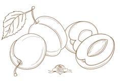 Prugna disegnata a mano del profilo dell'illustrazione di vettore (stile piano, Li sottile Fotografie Stock Libere da Diritti