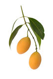 Prugna mariana gialla con il ramo immagini stock libere da diritti