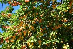 Prugna matura che appende sui rami di un albero Fotografia Stock Libera da Diritti