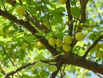 prugna selvatica gialla Fotografia Stock