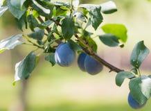 Prugna su un ramo in un frutteto Immagine Stock Libera da Diritti