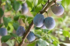 Prugna su un ramo in un frutteto Immagine Stock