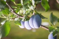 Prugna su un ramo in un frutteto Immagini Stock Libere da Diritti